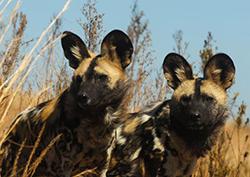 гиеновые собаки фото