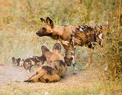 семейство гиеновых собак