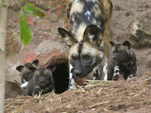 гиеновые собаки самка с детенышами