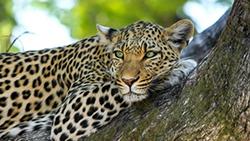леопард фото