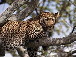 леопард на ветках