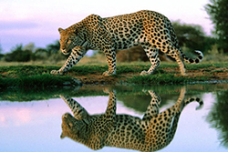 леопард у озера