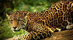 ягуар в джунглях