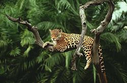 ягуар царь джунглей