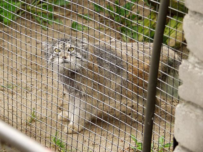 Паласов кот в зоопарке