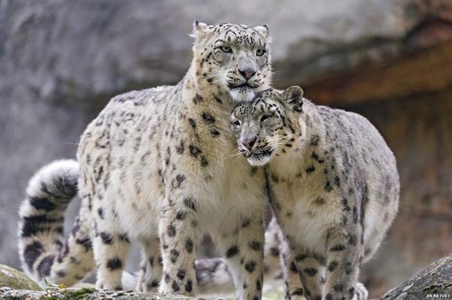 Семейство снежных барсов