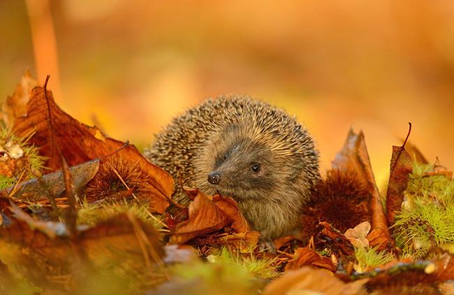 ёж в осенних листьях