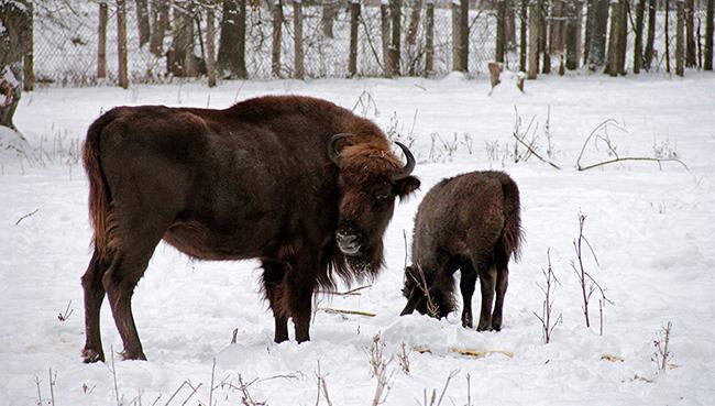 Зубр с теленком